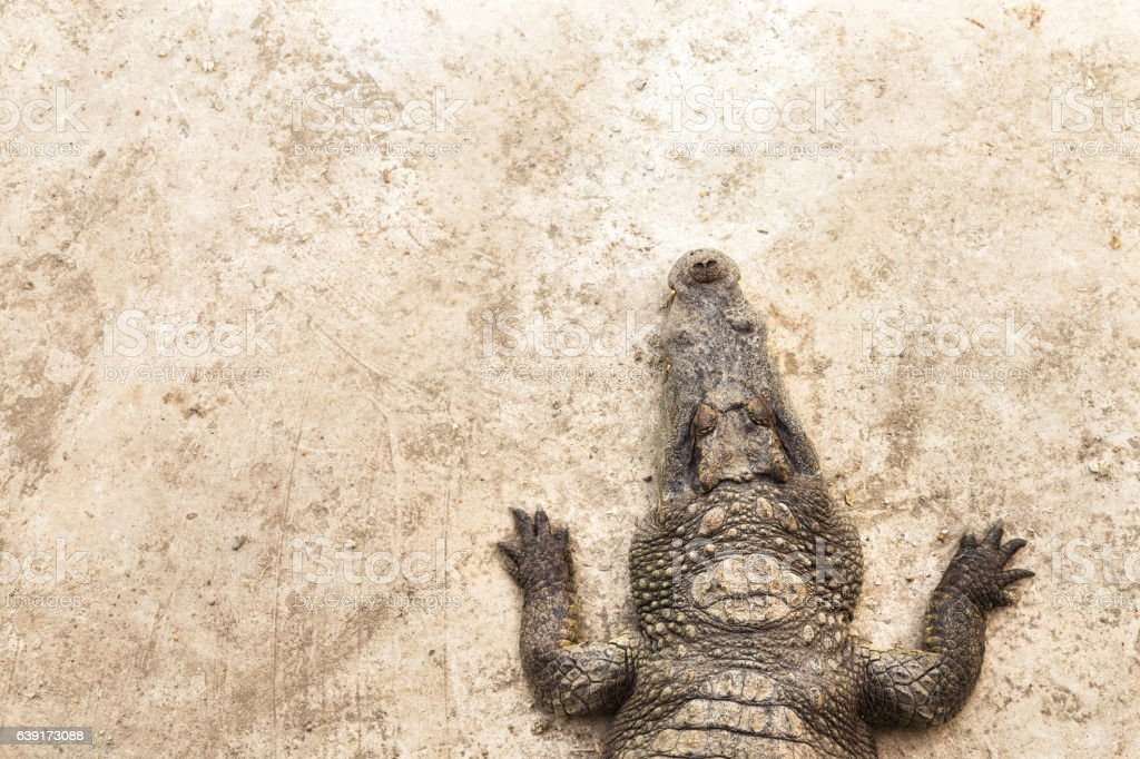 top view crocodile sleeping and laying down on the floor. stock photo