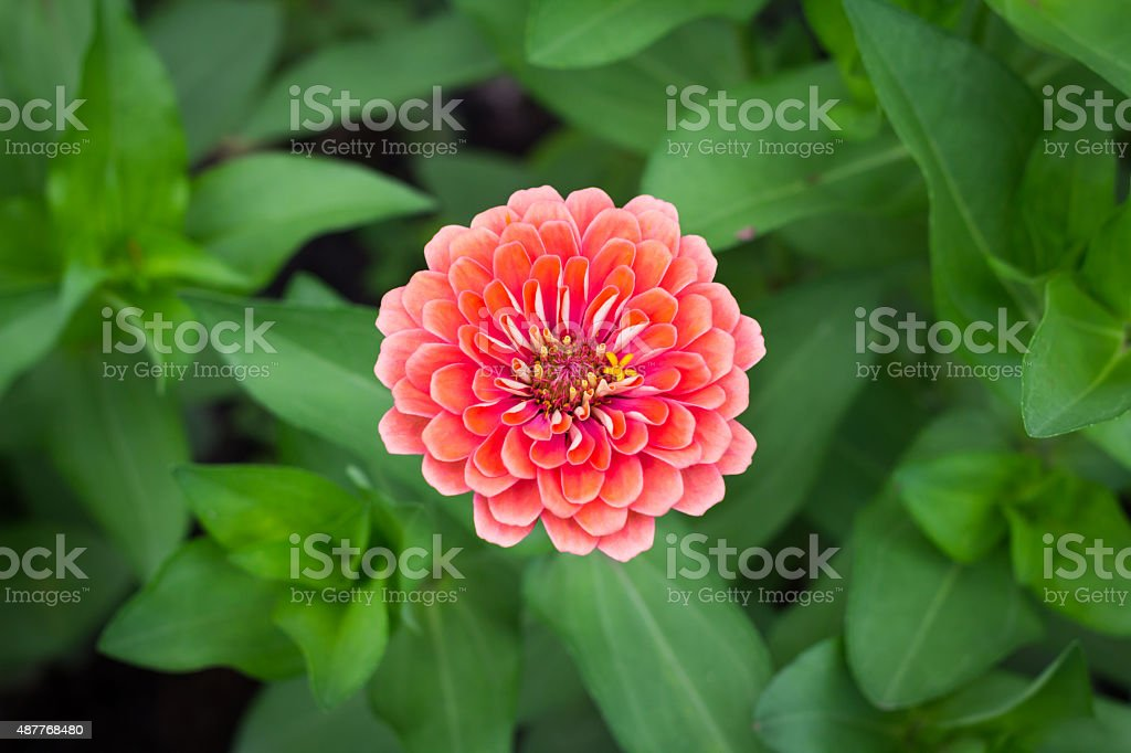 Top view deep orange Zinnia violacea on blur background texture stock photo