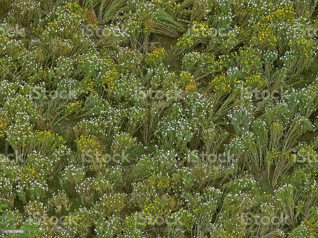 Top view field, white and yellow colored Crysanthemum flowers stock photo