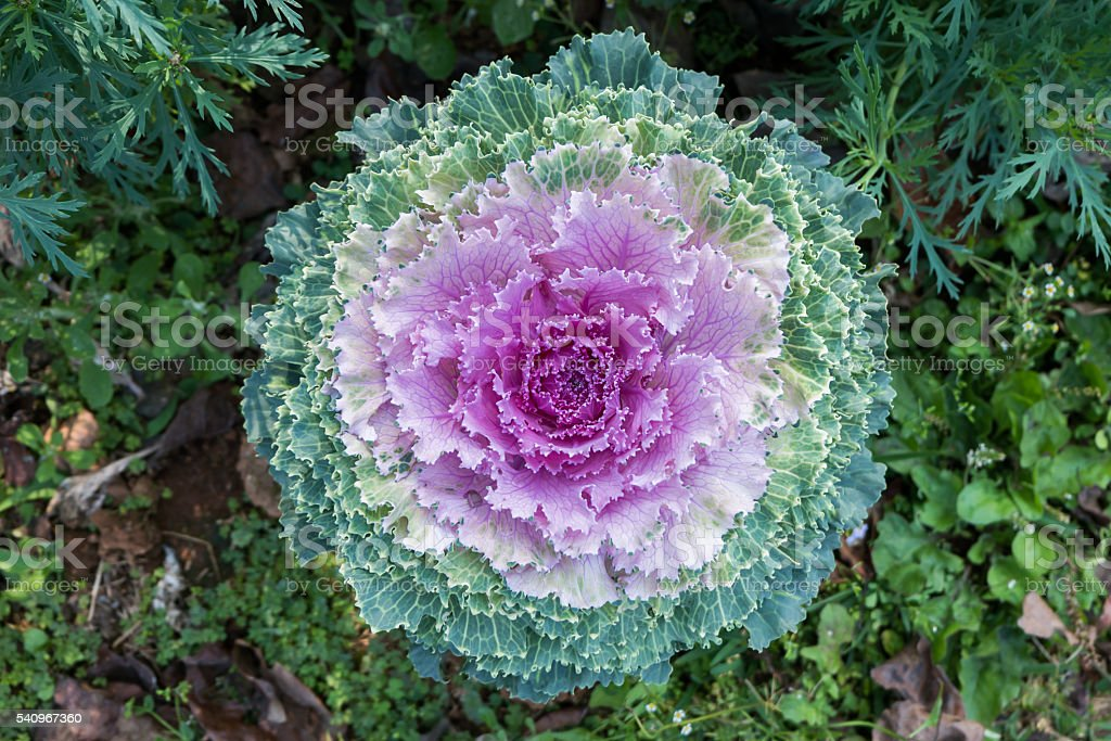 Top view fresh violet Cabbage (brassica oleracea) stock photo