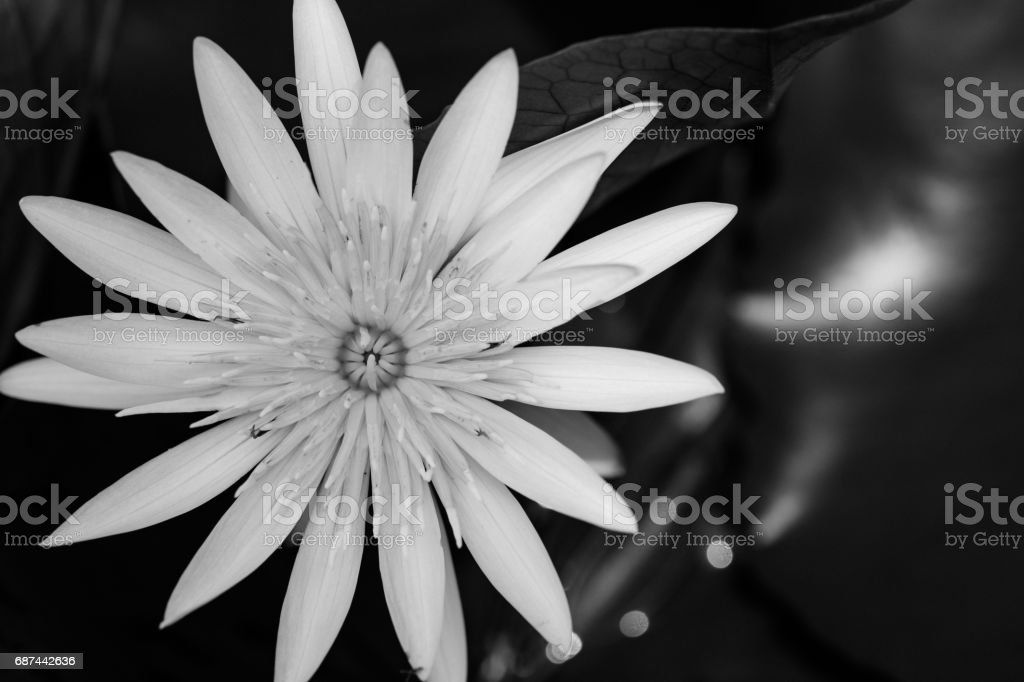Top view lotus on the surface water. stock photo