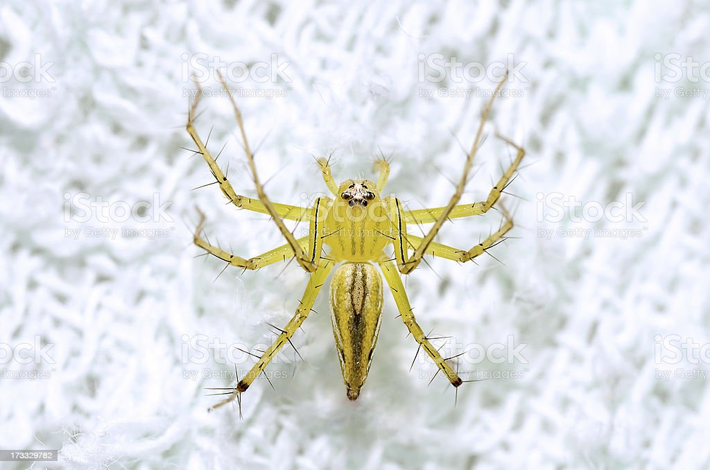 Top view Lynx Spider royalty-free stock photo