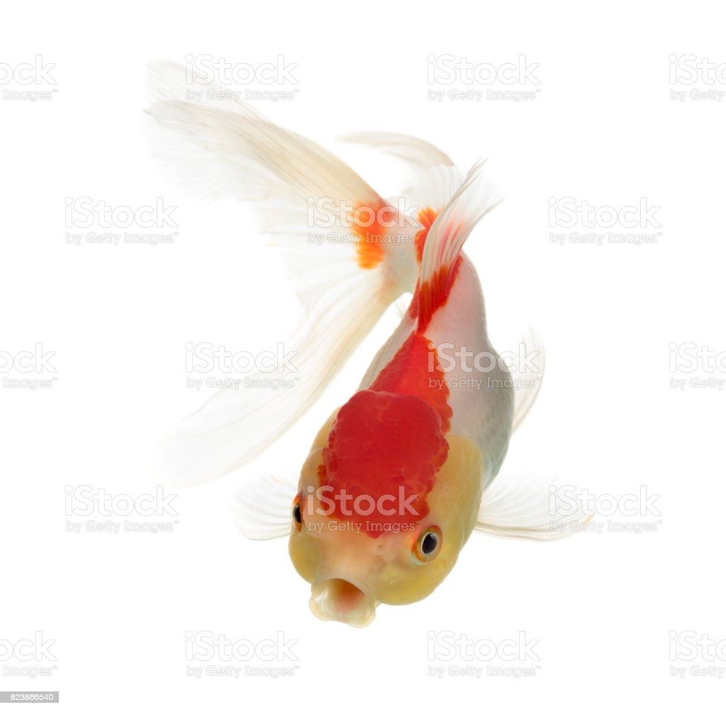 Top view of a lion's head goldfish isolated on white stock photo