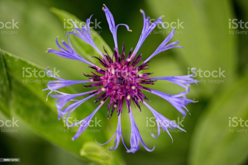 top view of a purple centaurea stock photo