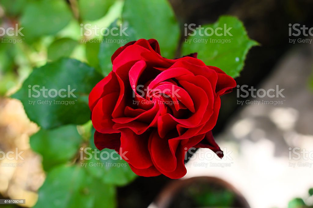 Top View of a Red Spiral Rose stock photo