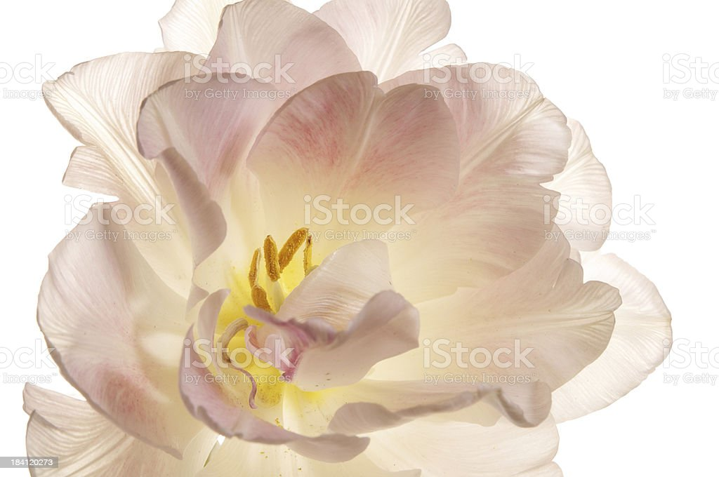 Top view of a white and pale pink Angelique Tulip stock photo