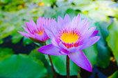 Top view of beautiful purple water lily or purple lotus