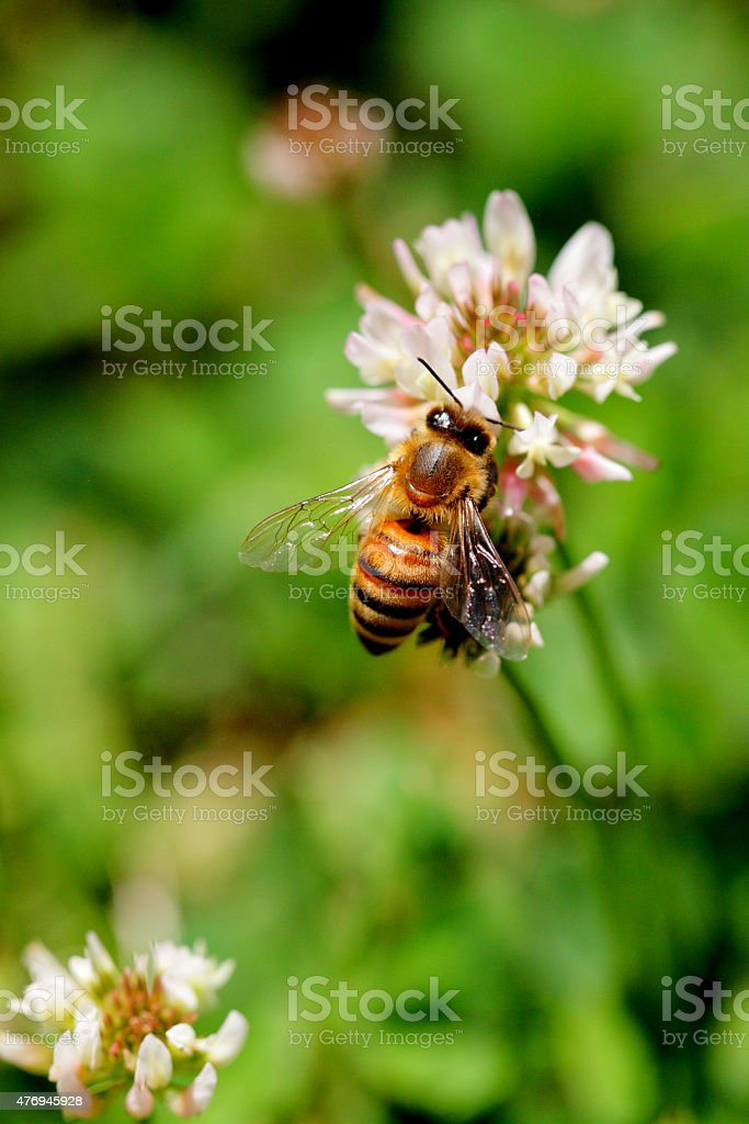 Top view of bee landing on a clover flower stock photo