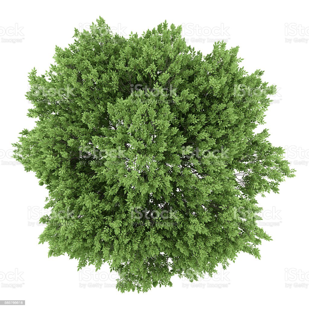 top view of common walnut tree isolated on white background stock photo