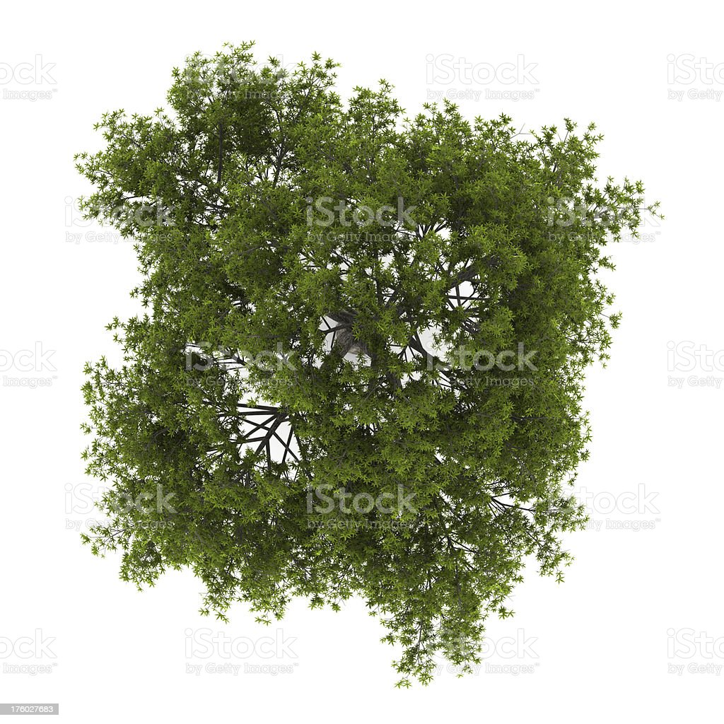 top view of crack willow tree isolated on white background stock photo