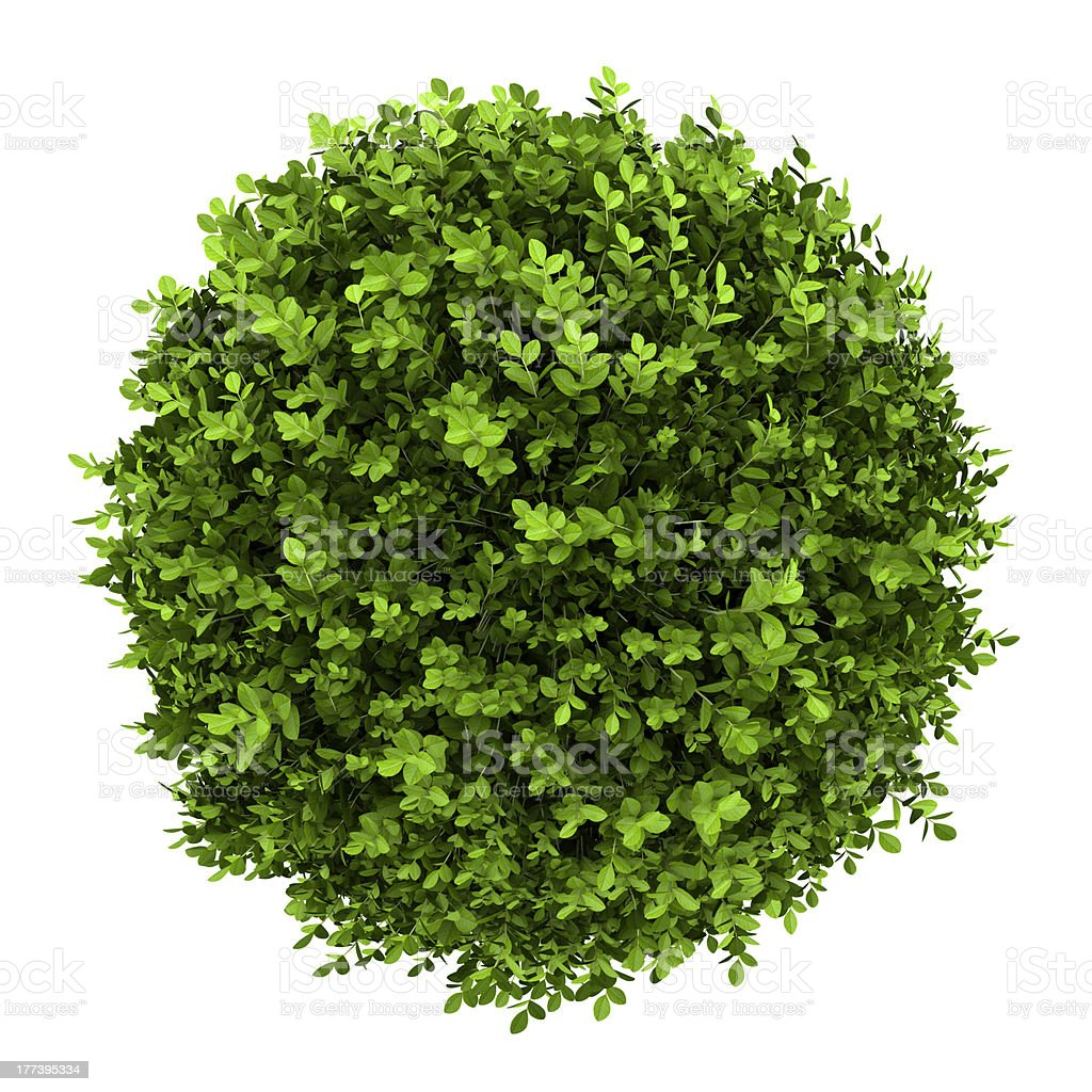 top view of dwarf english boxwood isolated on white background stock photo