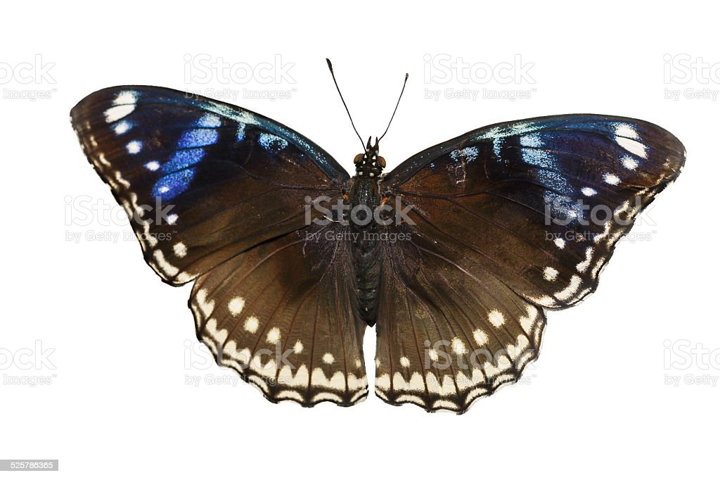 Top view of female great eggfly butterfly on white stock photo