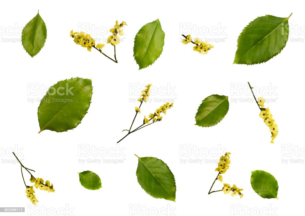 Top view of fresh green leaves, yellow dry flowers isolated on white background. stock photo