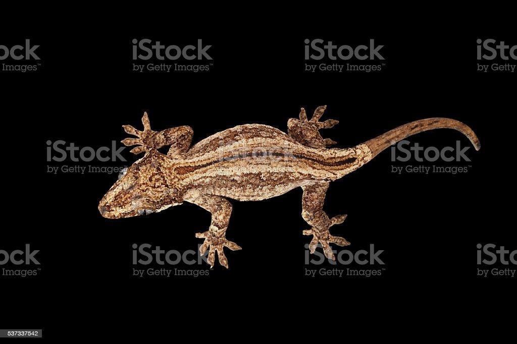 Top view of Gargoyle Gecko, Rhacodactylus auriculatus staring Isolated black stock photo