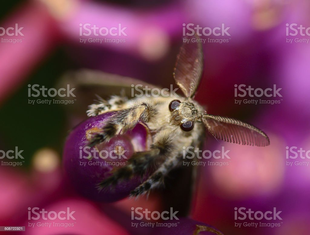 top view  of gypsy moth  hanging on Medinella magnifica flower stock photo