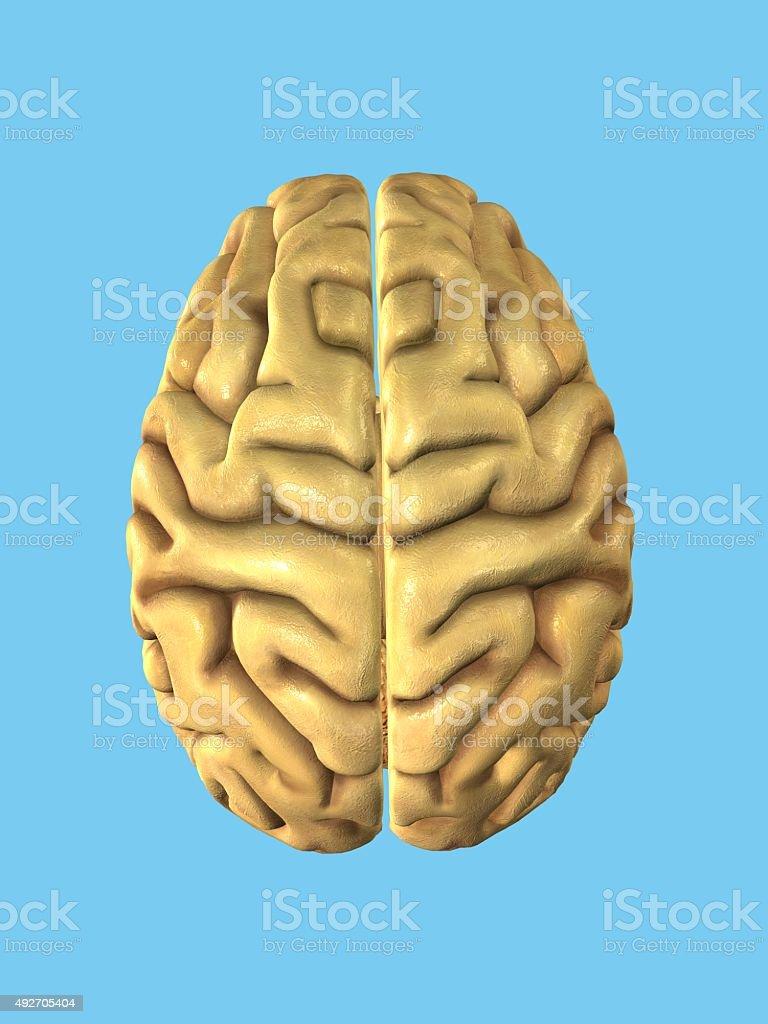 Top view of human brain. stock photo