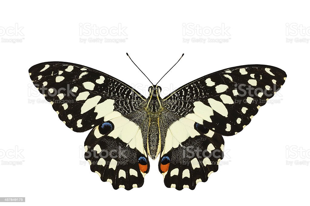 Top view of Lime butterfly in white background stock photo