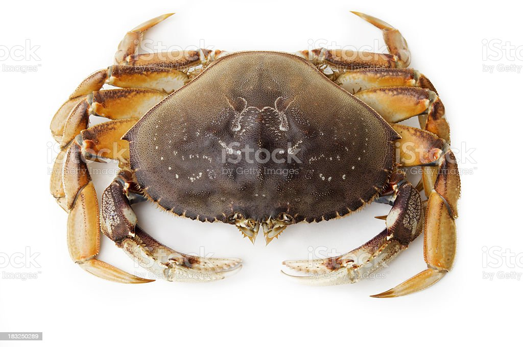 Top View of Live Dungeness Crab stock photo