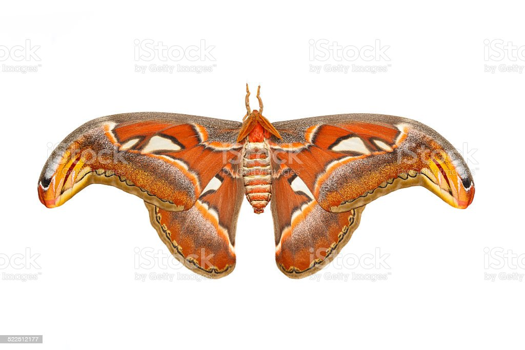 Top view of male attacus atlas moth stock photo