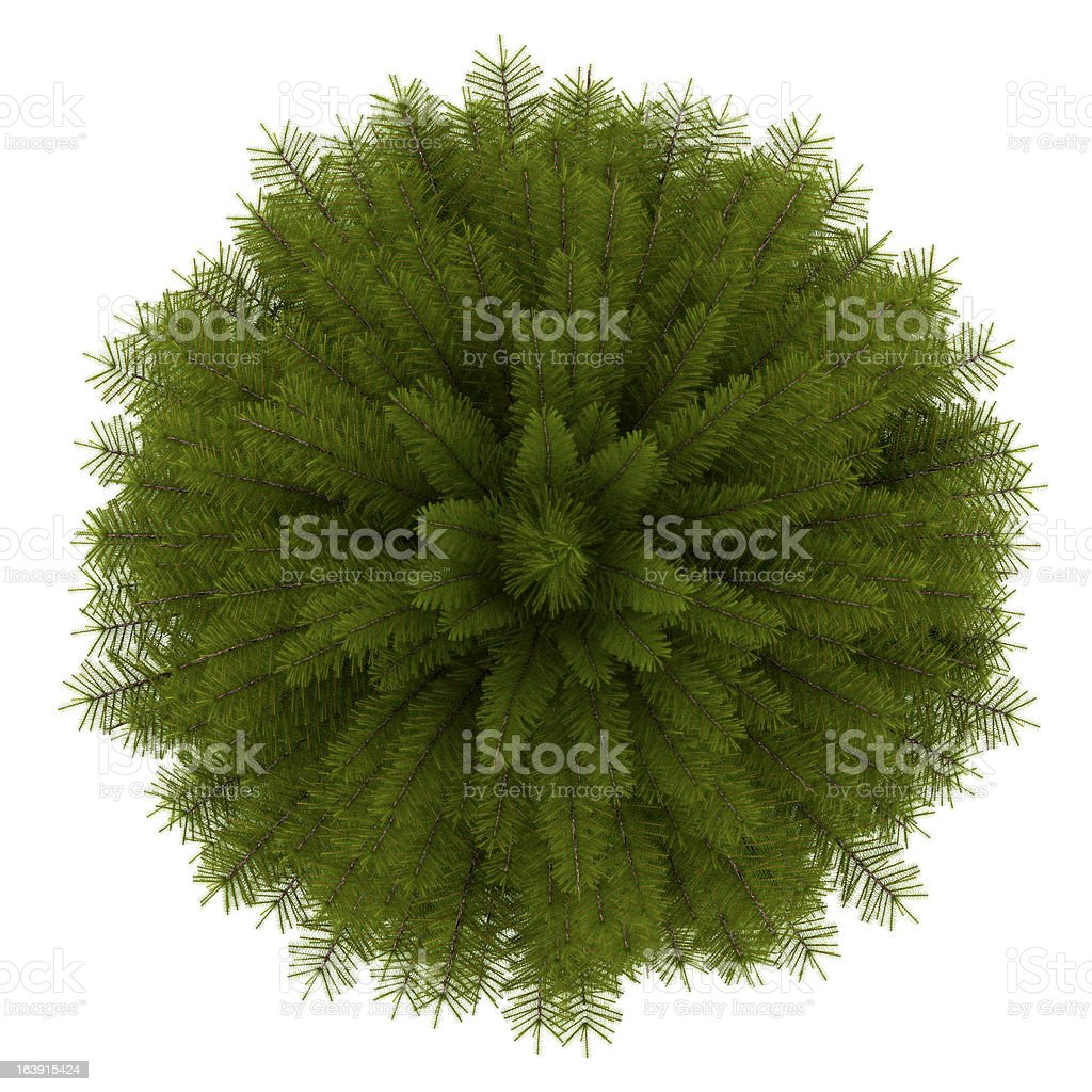 top view of norway spruce tree isolated on white background stock photo