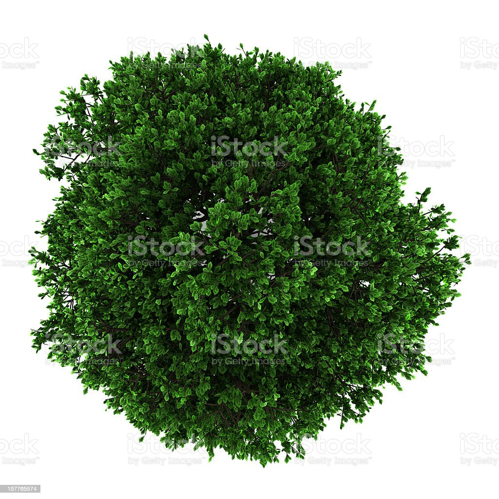 top view of pedunculate oak tree isolated on white background royalty-free stock photo