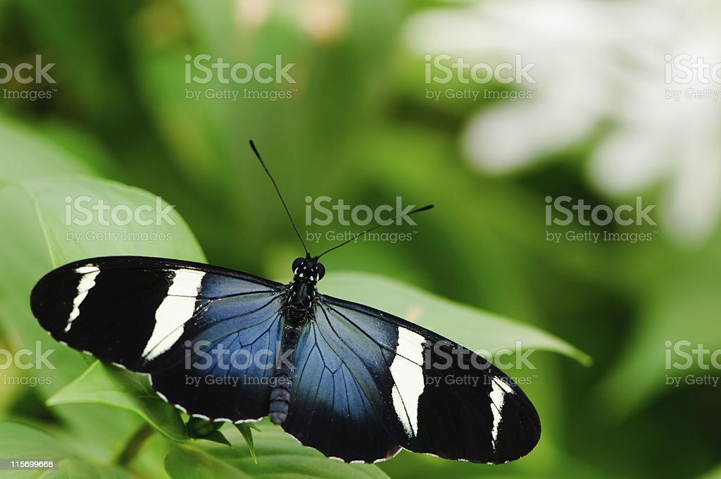 Top view of Sara Longwing Butterfly stock photo