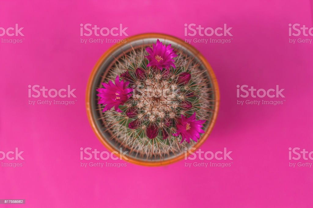 top view of spiny pincushion cactus stock photo