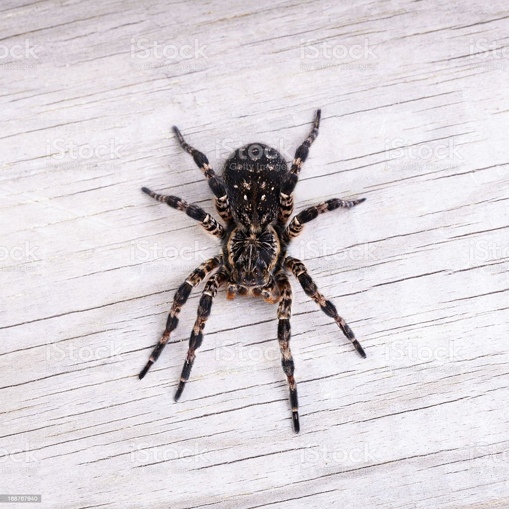 Top view of tarantula spider royalty-free stock photo