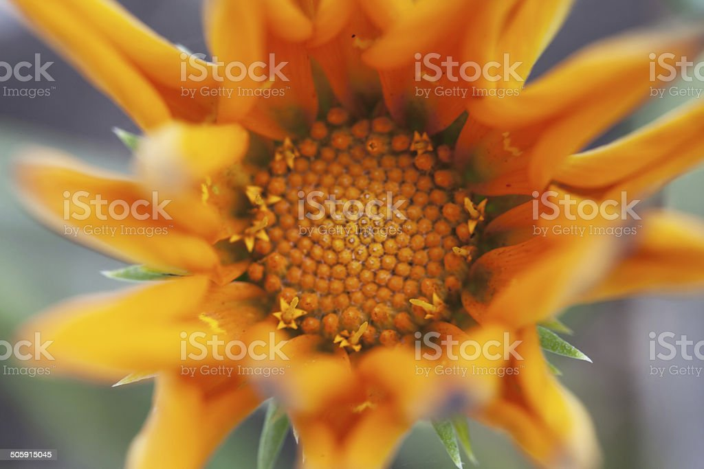 Top view of the heart of a mountain arnica stock photo