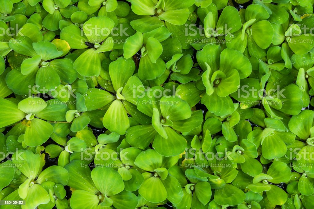 Top view of Water lettuce aquatic plant stock photo