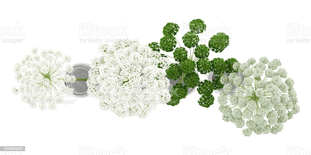 top view of wild carrot flowers in jars isolated stock photo