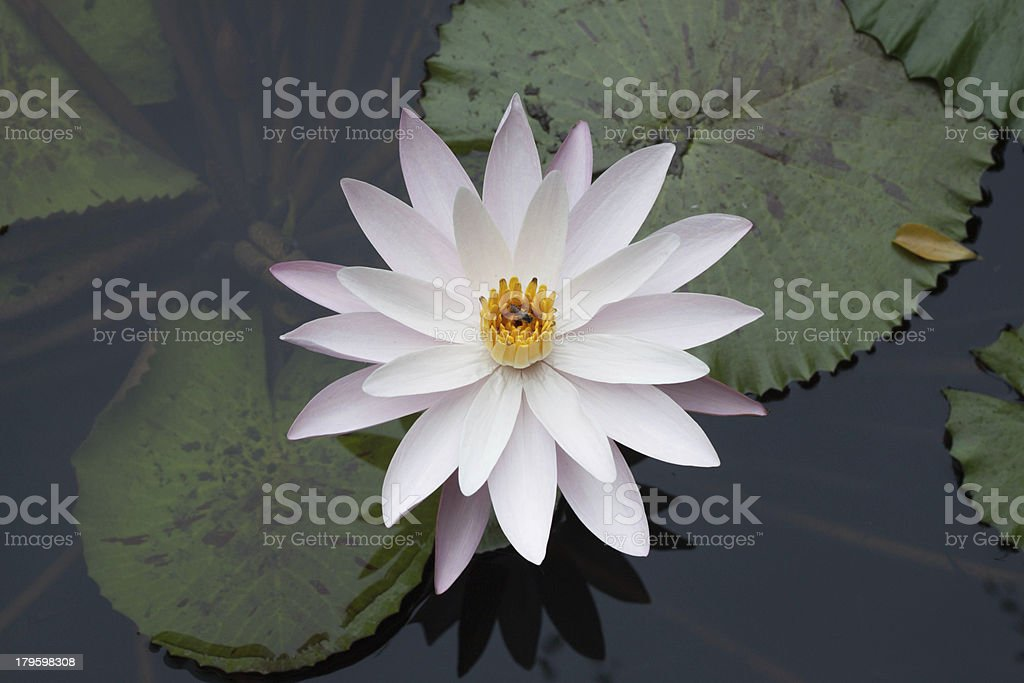 top view water lily royalty-free stock photo