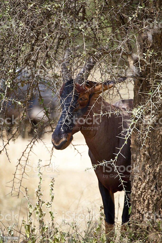 Topi and Acacia stock photo