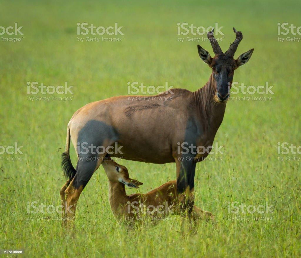 Topi and Calf stock photo