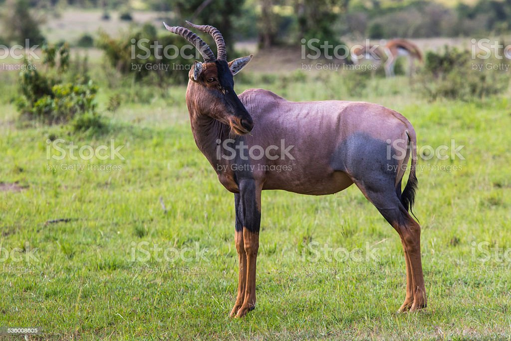Topi Antelope in the National Reserve of Africa, Kenya stock photo