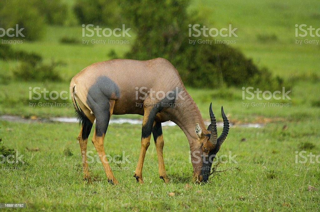 Topi Antelope royalty-free stock photo