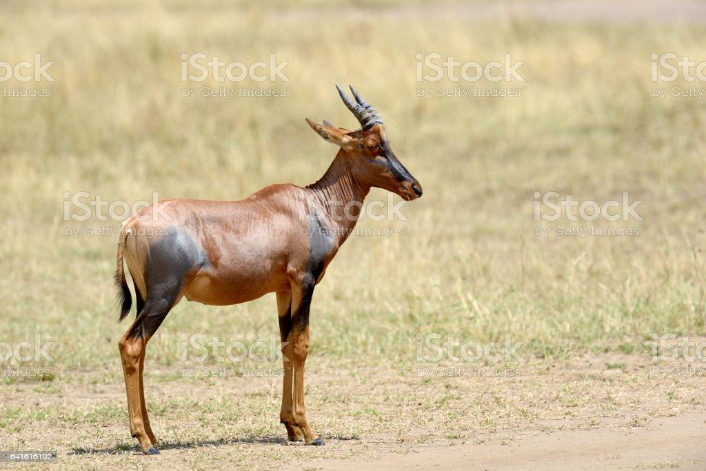 Topi Antelope (Damaliscus lunatus) stock photo