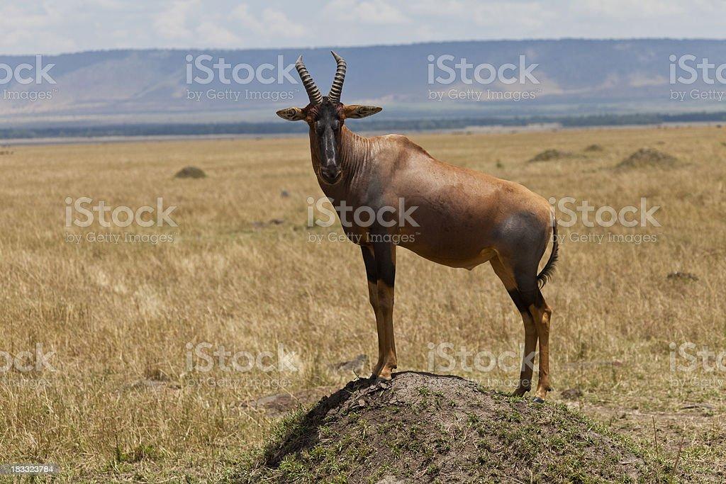Topi Antelope Standing on Termite Mound Masai Mara Kenya royalty-free stock photo