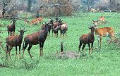 Topi herd with kob Queen Elizabeth National Park Uganda Africa