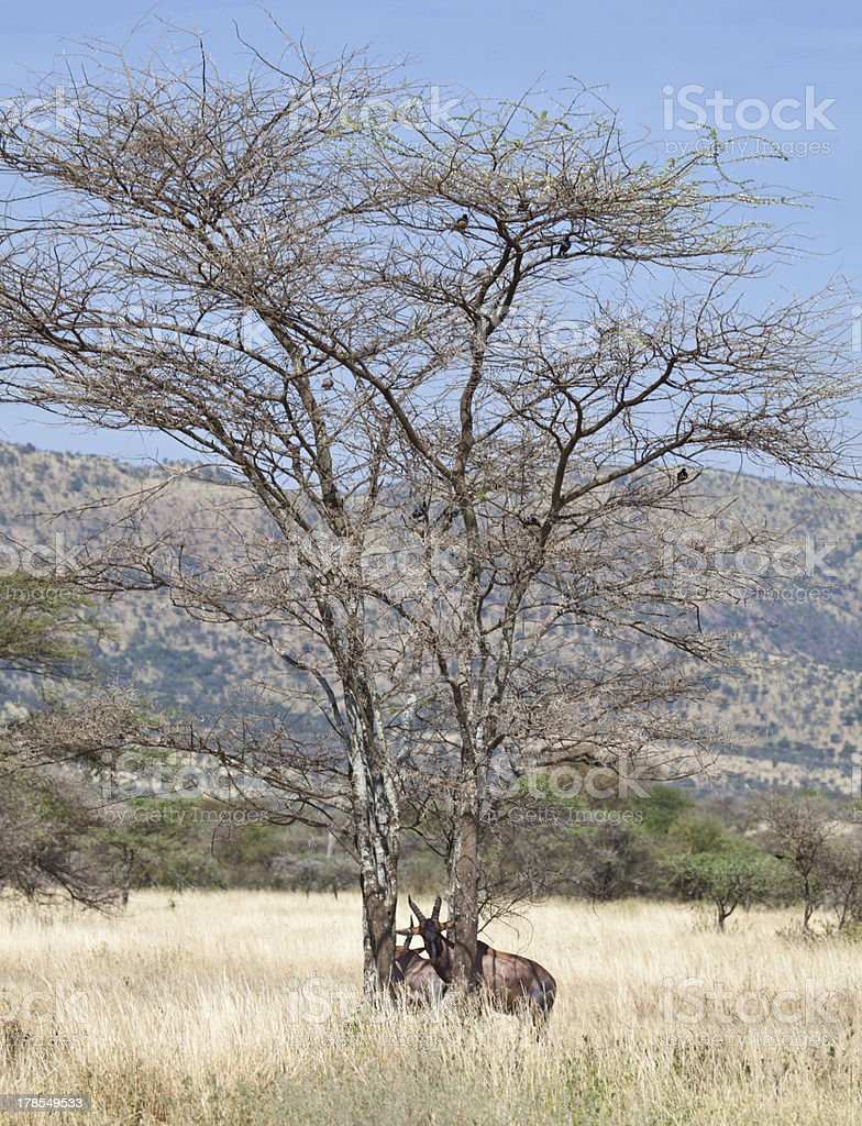 Topi in the Trees stock photo