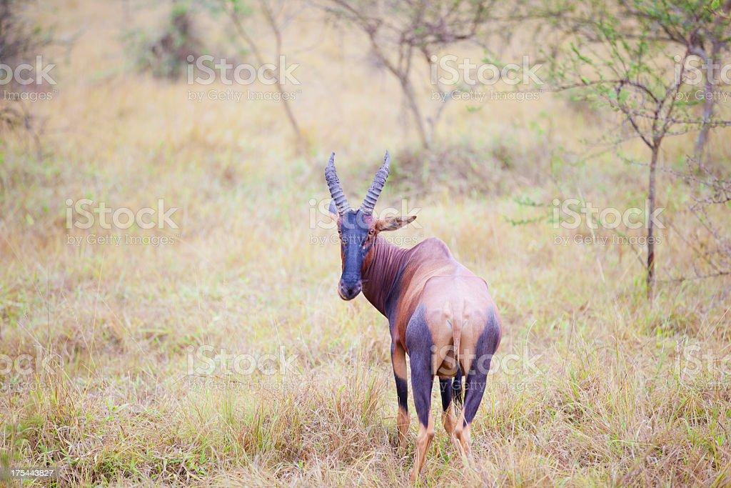 Topi royalty-free stock photo
