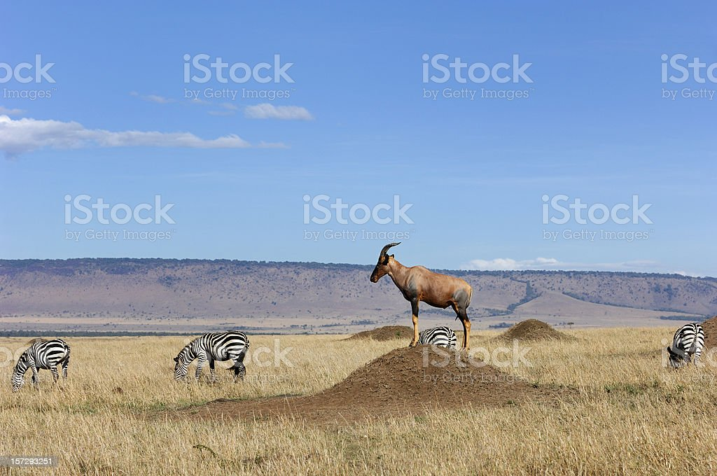 Topi Standing Guard stock photo