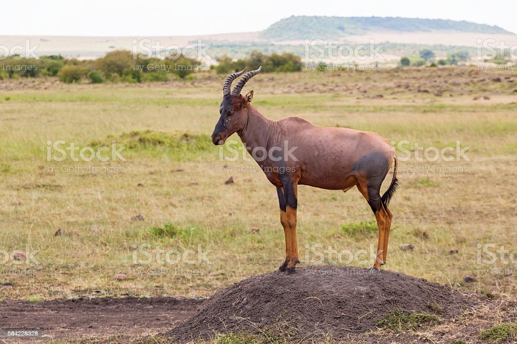 Topi standing on an earth mound stock photo