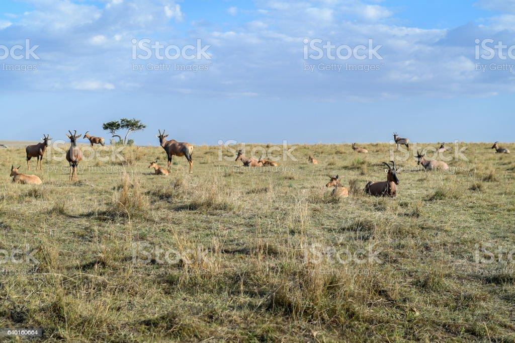 Topiantelope stock photo