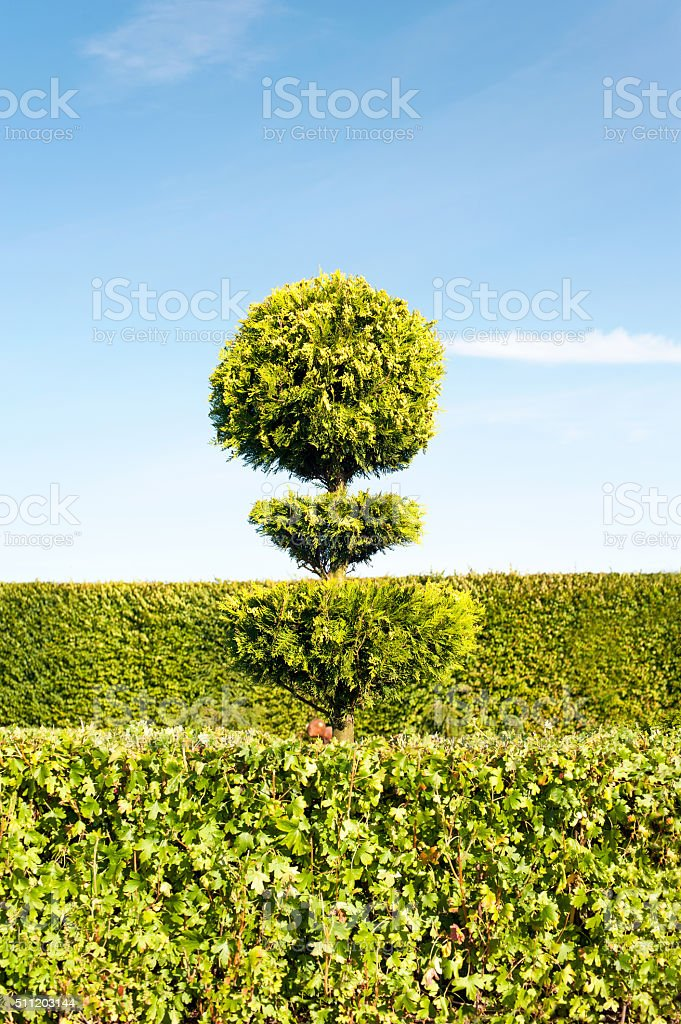 Topiary green tree with hedge on background in ornamental garden. stock photo