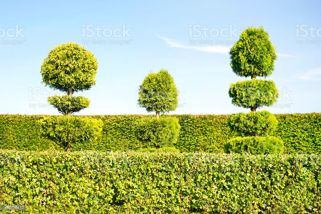 Topiary green trees with hedge on background in ornamental garden. stock photo