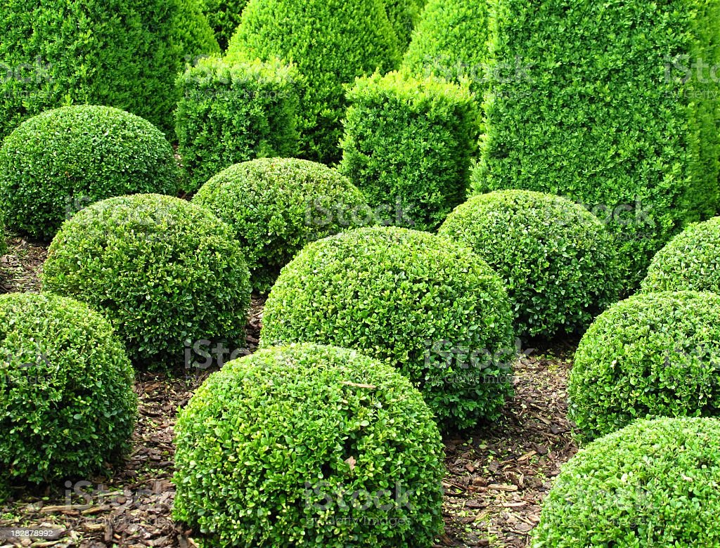 Topiary hedges shaped into spheres stock photo