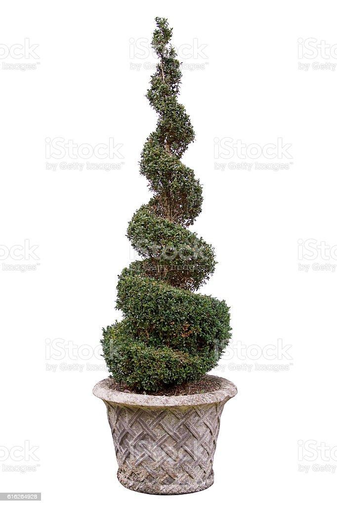 Topiary tree - Box. In very old pot. stock photo
