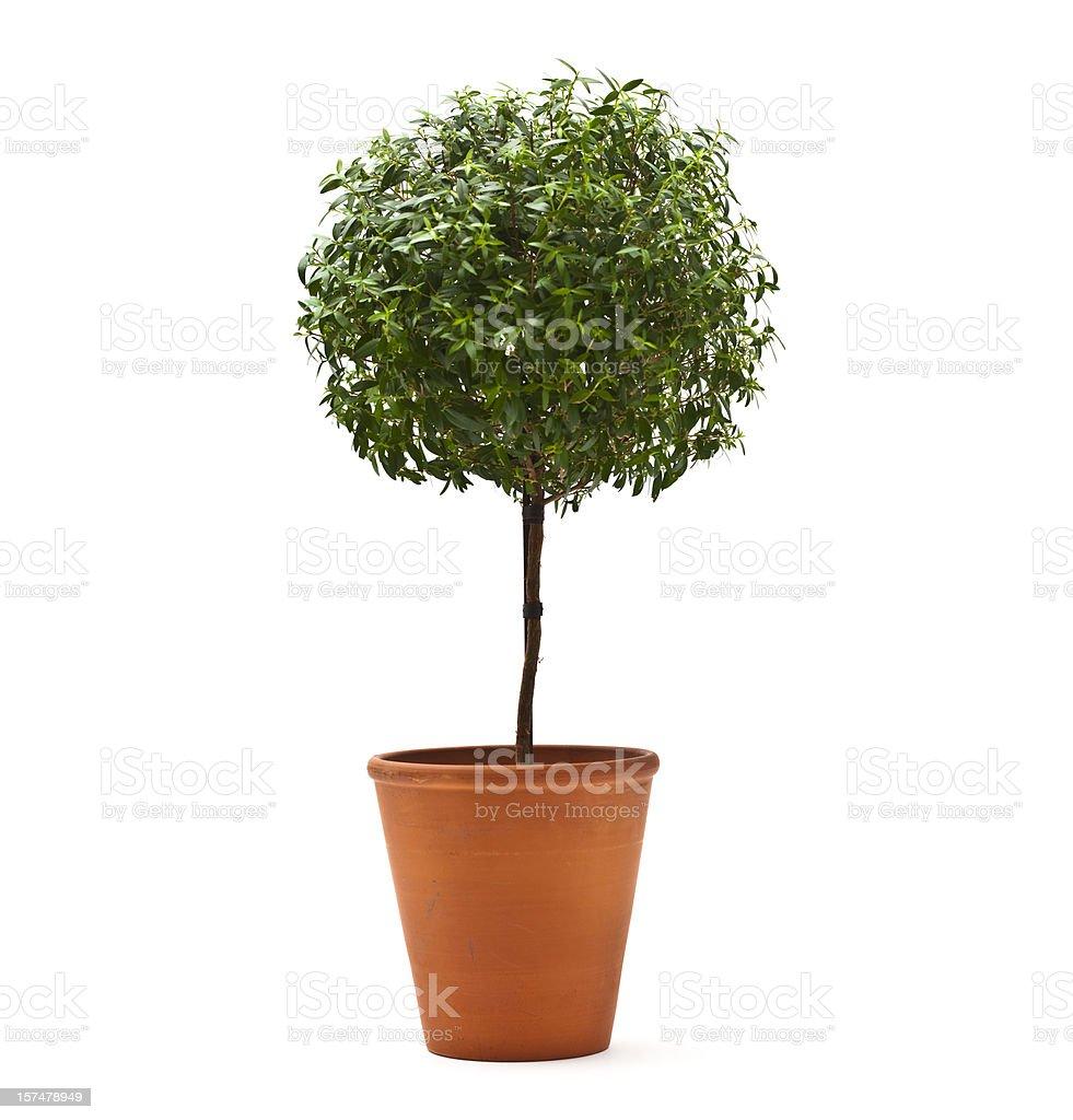 Topiary Tree stock photo