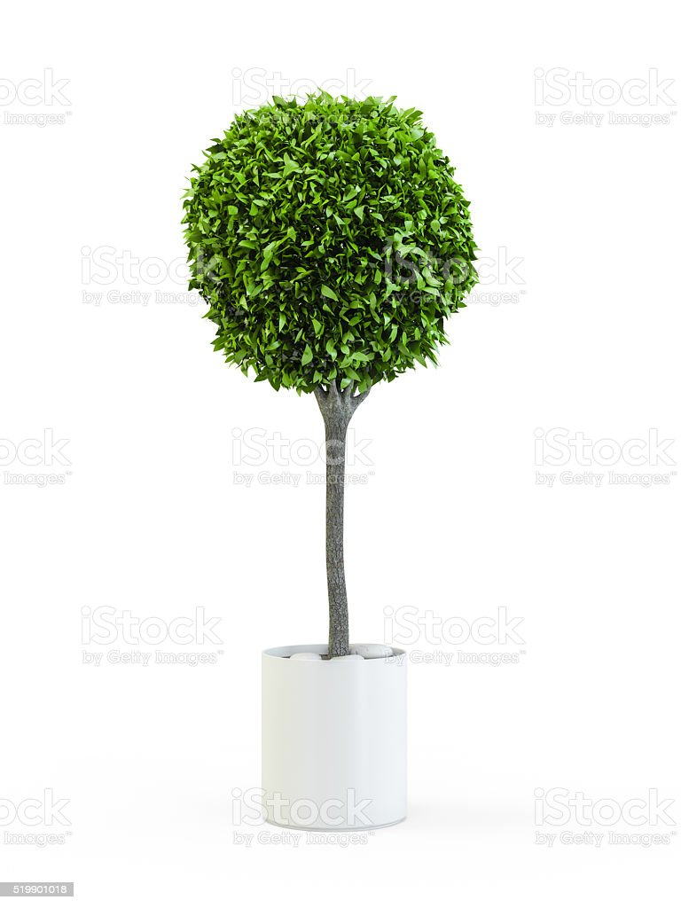 Topiary trees in the pot stock photo